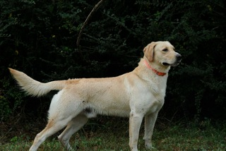 Majestic Golden Labrador Retriever