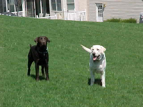 Black White Labrador Retrievers