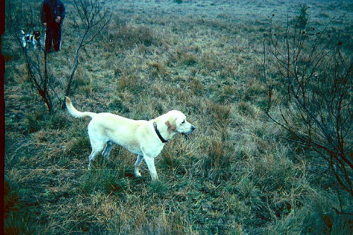 White Lab In Woods