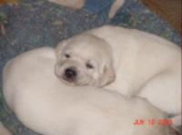 Lankas Puppies