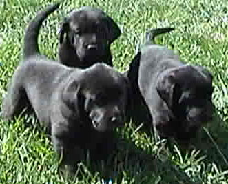 Pointing Charcoal Lab Puppies