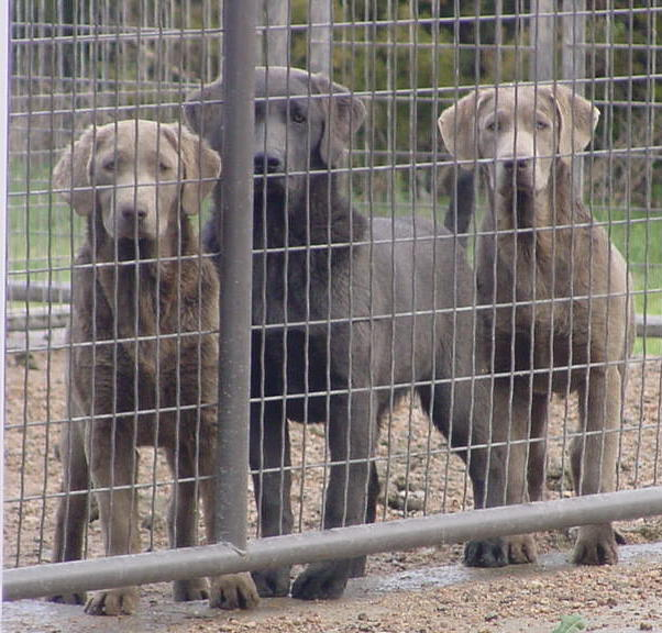 Silver & Charcoal Pointing Labradors - Pointing Labs For