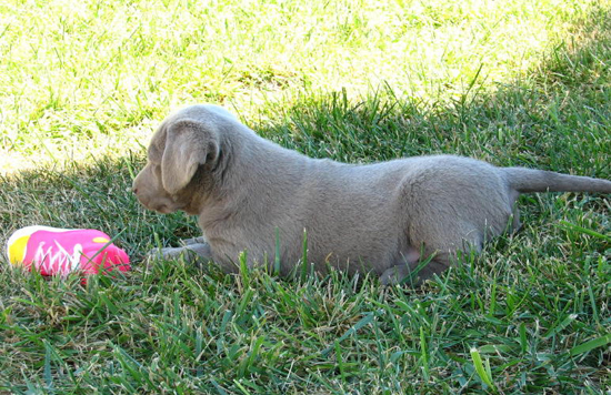 Chocolate Lab Puppy Playing