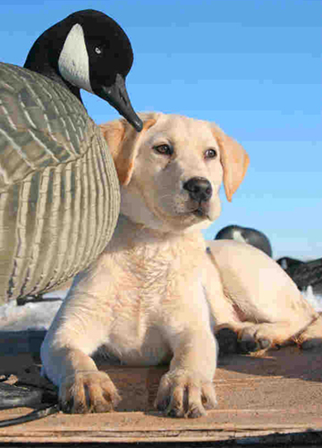 Pointing Labrador Retriever Puppies for Sale