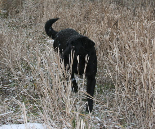 Female Black Lab in Woods