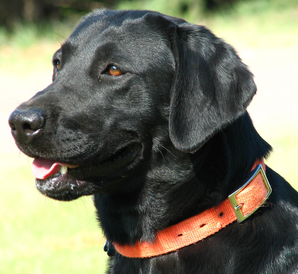 Female Black Lab Close Up
