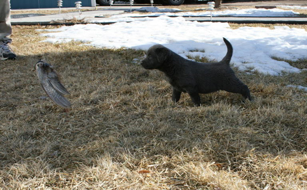 Charcoal Lab Puppy Hunting Bird