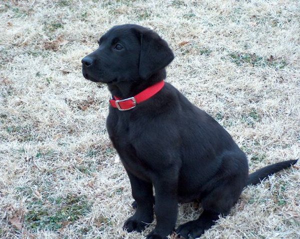 Black Lab Puppy with Red Collar