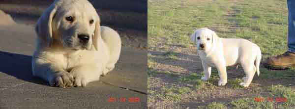 White Chocolate Labradors For Sale From Pointing Lab Breeders