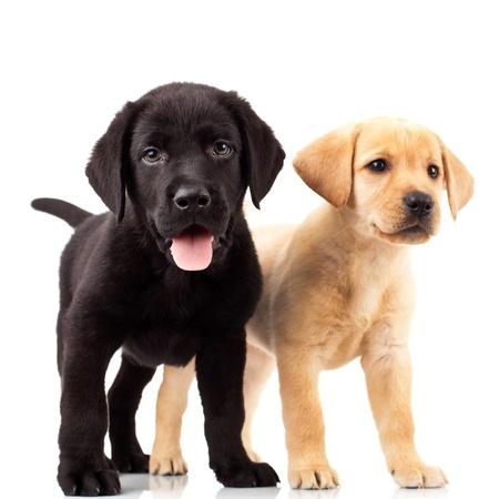 yellow and black labrador retriever puppies | Lankas Labs