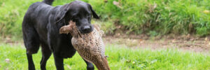 Pointing Labrador Retriever Breeder in Kansas